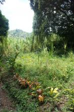 Tropical foliage near natural hot springs in Roseau Dominica.jpg