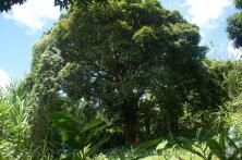 Large tree near natural hot springs in Roseau Dominica.jpg