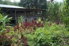 Rainforst tropical plants in hot springs area of Roseau Dominica.jpg